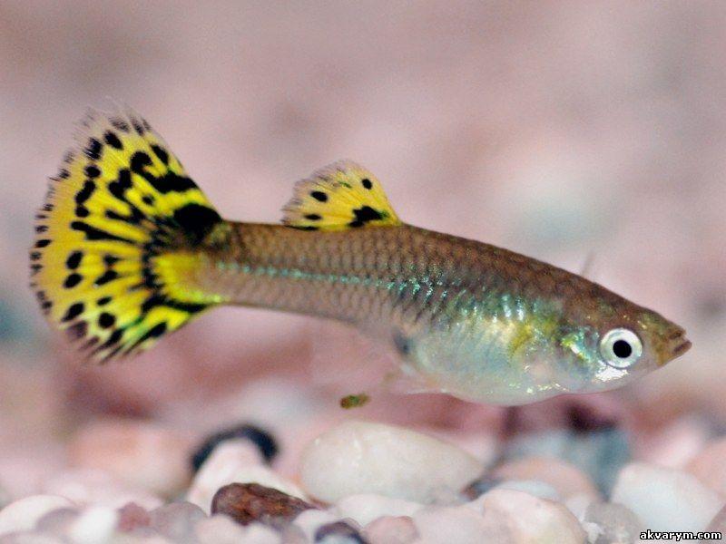Аквариумные рыбки гуппи содержание и уход