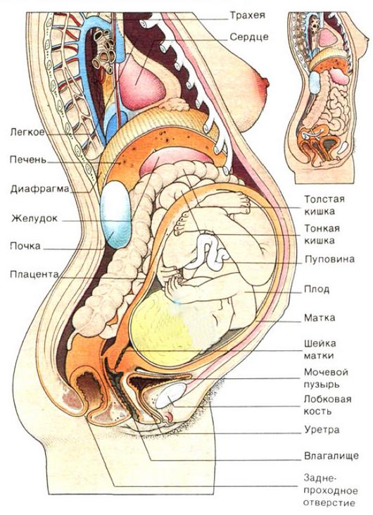 Болит левый бок при беременности