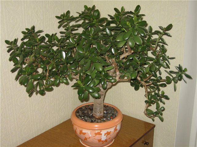 Денежное дерево лечебные свойства