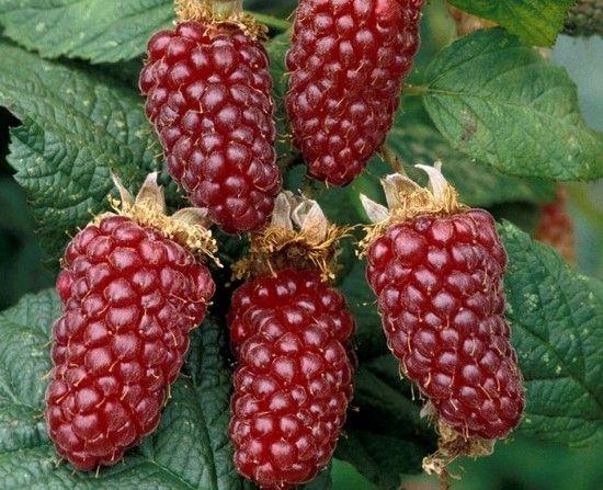 Ежемалина выращивание и уход