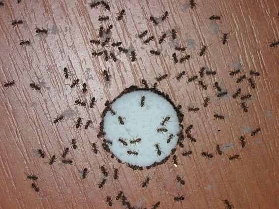 Как избавится от домашних муравьев