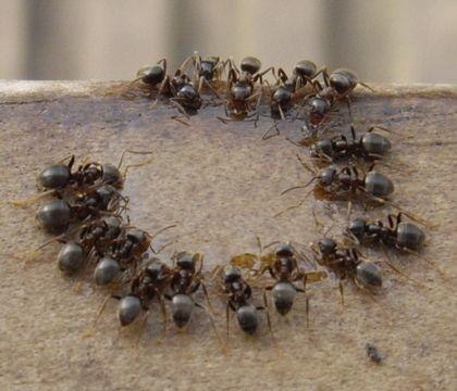 Как избавится от муравьев в квартире