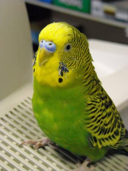 Как научит попугая разговаривать