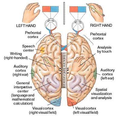 Как развить правое полушарие мозга
