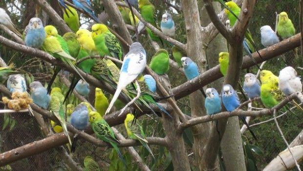 Как ухаживать за волнистыми попугаями