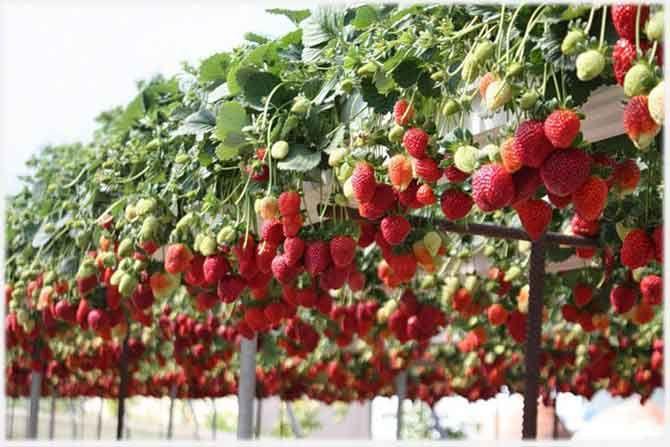 Как выращивать клубнику круглый год