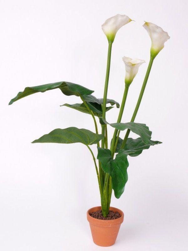 Комнатное растение калла