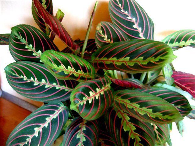Маранта трехцветная молитвенное растение