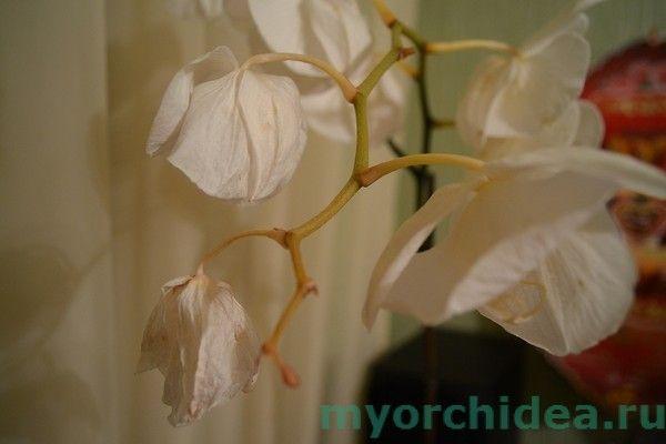 Почему у орхидеи вянут цветы