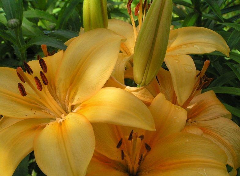 Почему желтеют листья у лилии