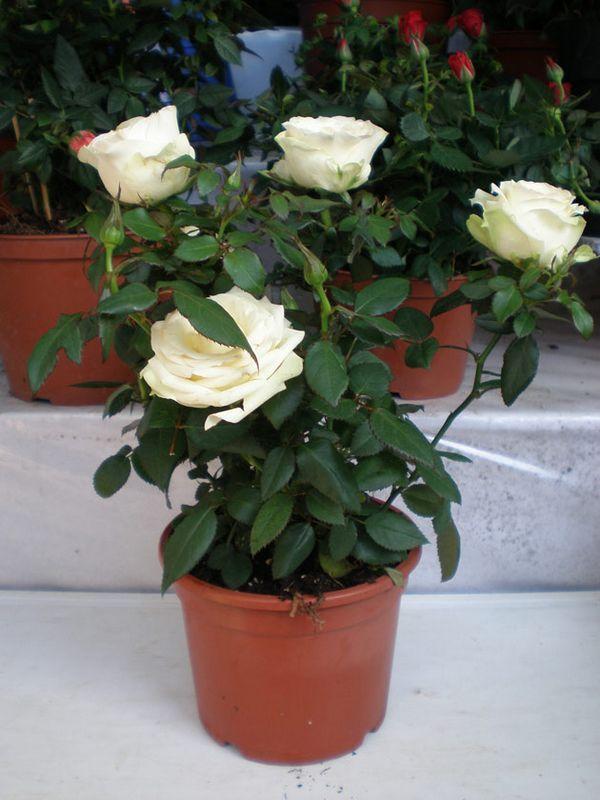 Роза домашняя уход