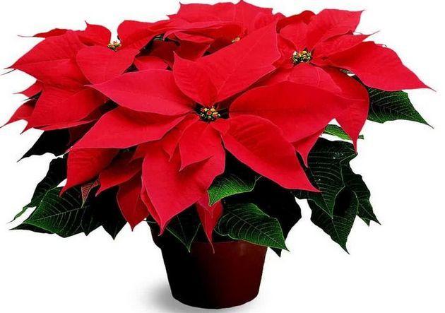 Рождественский цветок пуансетия