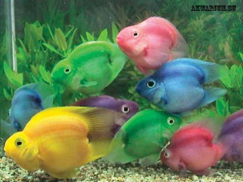 Рыбы попугаи аквариумные