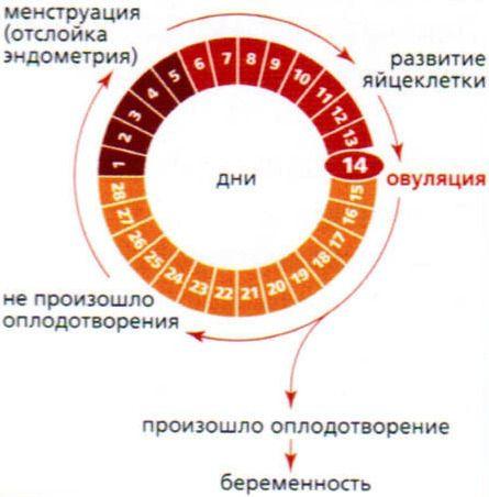 Как рассчитать цикл месячных