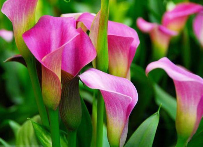 Каллы почему цветы смерти