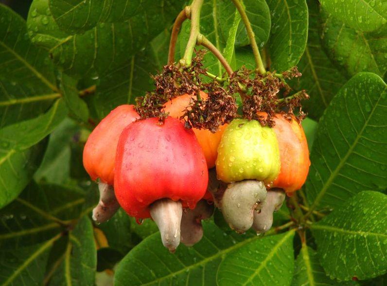 Орехи кешью польза и вред