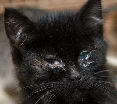 Почему слезятся глаза у кошки