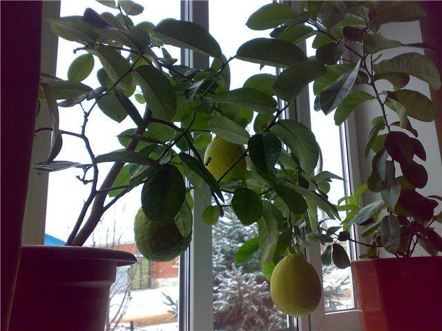 Уход за лимоном в домашних условиях